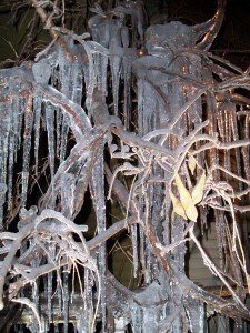 Wisteria in Ice