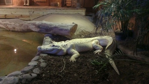 Mardi the White Alligator
