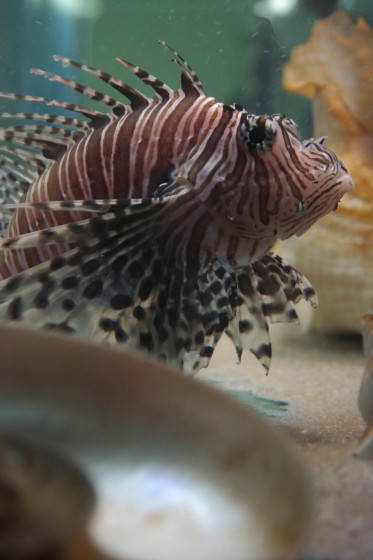 Lionfish - A Tropical Stray